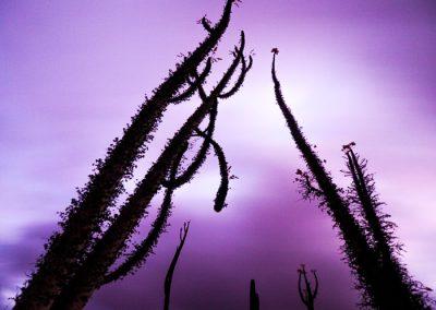 Cirios trees