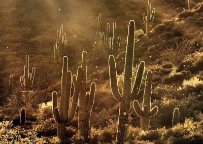 Saguaros Arizona Sunset