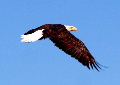 bold eagle Montana