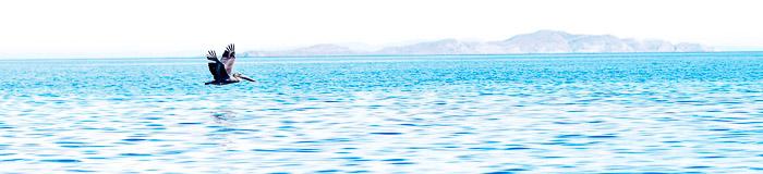Pelican at the Sea of Cortez